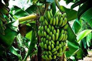Genome Editing Effective in Developing Streak Virus Resistant Bananas