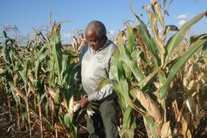 Kenya Approves Limited Release of GM Maize