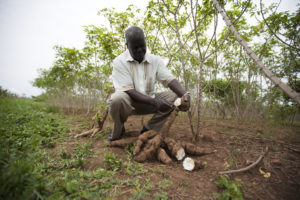 International Collaboration Receives Grant to Advance Improvements in Cassava Harvests and Nutrition for Smallholder Families in sub-Saharan Africa
