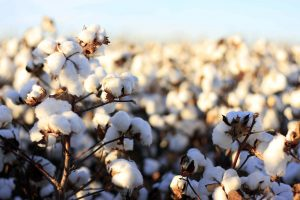 Kenya's Environment Agency Invites Public to Submit Comments on a Bt Cotton Environmental Impact Assessment Report