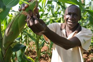 Nigeria Approves Genetically Modified TELA Maize for Open Cultivation